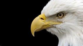 Amerikaans Kaal Eagle royalty-vrije stock afbeelding