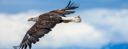 Amerikaans Kaal Eagle in Alaska Stock Afbeelding