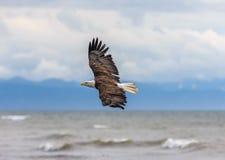 Amerikaans Kaal Eagle in Alaska Royalty-vrije Stock Fotografie