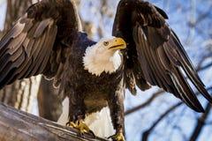Amerikaans Kaal Eagle in boom Royalty-vrije Stock Afbeeldingen