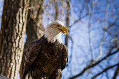 Amerikaans Kaal Eagle in boom Stock Afbeeldingen