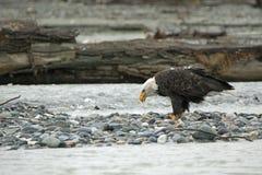 Amerikaans Kaal Eagle in Chilkat Royalty-vrije Stock Fotografie