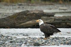 Amerikaans Kaal Eagle in Chilkat Stock Afbeeldingen