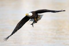 Amerikaans Kaal Eagle met Vissen Royalty-vrije Stock Afbeelding