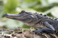 Amerikaans Krokodille dicht omhooggaand profiel van tanden en schalen stock fotografie