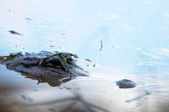 Amerikaans KrokodilleHoofd Stock Afbeeldingen