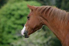 Amerikaans kwartpaard royalty-vrije stock foto