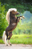 Amerikaans Miniatuurpaard die omhoog grootbrengen Stock Foto