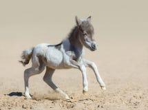 Amerikaans MiniatuurPaard Pinto onlangs geboren veulen in motie Royalty-vrije Stock Fotografie