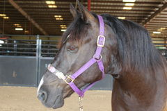 Amerikaans Mustang royalty-vrije stock foto's