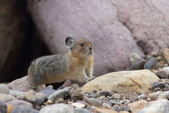Amerikaans Pika - Jasper National Park Stock Foto