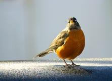 Amerikaans Robin Bird Stock Afbeeldingen