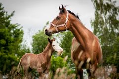 Amerikaans Verfpaard mum en het veulen stock fotografie