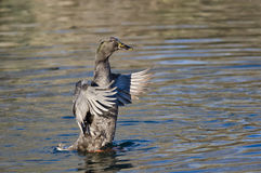 Amerikaans Zwart Duck Stretching Its Wings op het Water Stock Foto's