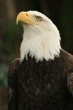 Amerikaanse adelaar 3 Stock Foto's
