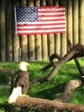 Amerikaanse Adelaar Royalty-vrije Stock Afbeelding