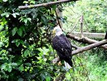 Amerikaanse adelaar Royalty-vrije Stock Foto