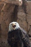 Amerikaanse adelaarsschreeuw Royalty-vrije Stock Afbeeldingen