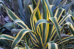 Amerikaanse Agave & x28; Agave& x29; stock afbeelding