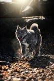 Amerikaanse Akita die op bladeren en stenen lopen stock fotografie