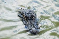 Amerikaanse Alligator Stock Afbeelding