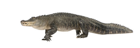 Amerikaanse Alligator (30 jaar) Stock Foto