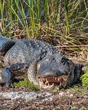 Amerikaanse Alligator royalty-vrije stock fotografie