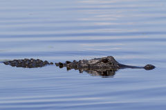 Amerikaanse Alligator Royalty-vrije Stock Fotografie