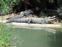 Amerikaanse Alligator Stock Afbeeldingen