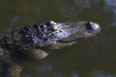 Amerikaanse Alligator 2 stock afbeelding