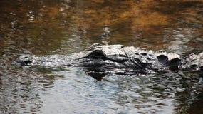 Amerikaanse Alligator 7 royalty-vrije stock foto