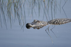 Amerikaanse Alligator in de Nationale Wildernis van het Eiland Merritt Royalty-vrije Stock Foto's