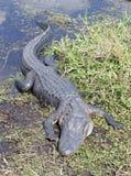 Amerikaanse Alligator in de Wildernis royalty-vrije stock fotografie