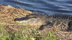 Amerikaanse alligator die dichtbij meer zonnen stock video