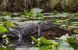 Amerikaanse Alligator die op logboek, Okefenokee-Toevluchtsoord van het Moeras het Nationale Wild zonnebaden royalty-vrije stock afbeelding