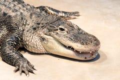 Amerikaanse alligator in een dierentuin royalty-vrije stock fotografie