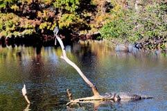 Amerikaanse alligator en anhinga Royalty-vrije Stock Foto