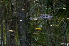 Amerikaanse Alligator in Fakahatchee-het Park van de Staat van het Bundeldomein, Florida stock foto's