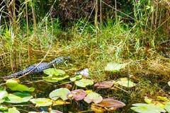 Amerikaanse Alligator in het Moerasland van Florida Everglades Nationaal Park in de V.S. Stock Afbeelding