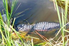 Amerikaanse Alligator in het Moerasland van Florida Everglades Nationaal Park in de V.S. Royalty-vrije Stock Foto