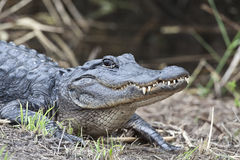 Amerikaanse alligator (Krokodillemississippiensis) Stock Foto