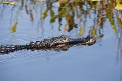 Amerikaanse alligator (Krokodillemississippiensis) Royalty-vrije Stock Foto