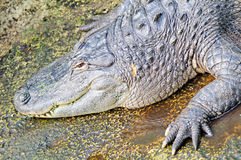 Amerikaanse alligator (Krokodillemississippiensis) Royalty-vrije Stock Afbeelding