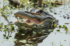 Amerikaanse Alligator, (Krokodillemississippiensis) Royalty-vrije Stock Foto's