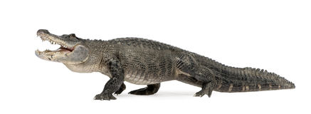 Amerikaanse Alligator - Krokodillemississippiensis Stock Foto