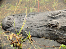 Amerikaanse alligator in meer Royalty-vrije Stock Foto