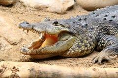 Amerikaanse Alligator met open mond op een zand Stock Foto's