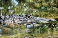 Amerikaanse alligator in moeras Royalty-vrije Stock Foto's