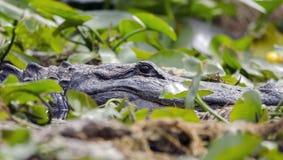 Amerikaanse Alligator, Okefenokee-Toevluchtsoord van het Moeras het Nationale Wild royalty-vrije stock fotografie