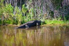 Amerikaanse Alligator op de Bank Stock Fotografie